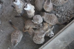 Meerkats at the Zoo. Look at that little face in the top of the picture and tell me your heart doesn't melt.